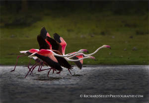 Galloping Flamingos